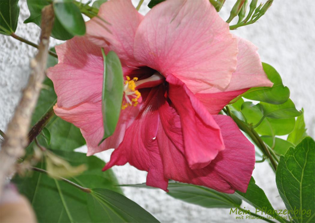 Hibiskus-Blüte