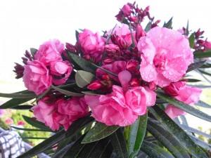 Oleander-Blüten