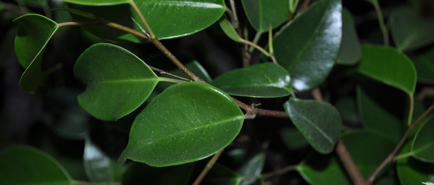 Ficus.jpg