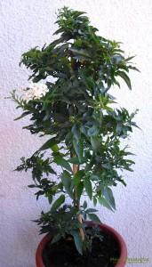 Jasmin-Solanum-Jasminoides
