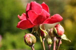 Rosen-Blüte