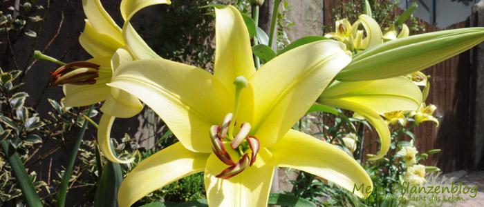 Lilien.jpg