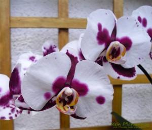 Phalaenopsis-Malaienblume