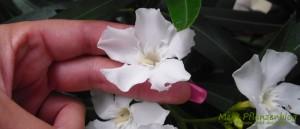 Oleander-Blüte