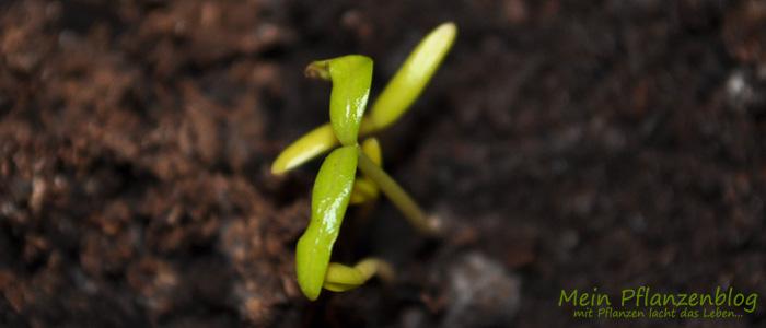 Oleander-Samen.jpg