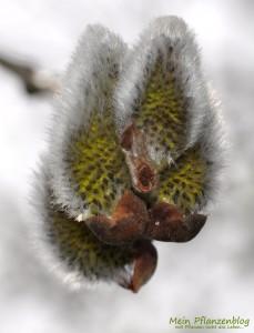 Weidenkätzchen-Blüte