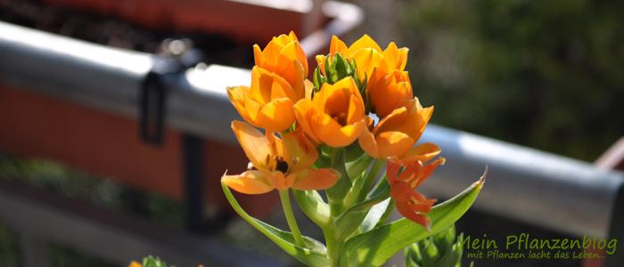 Ornitogalum-Dubium.jpg