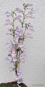 Streptocarpus-Drehfrucht