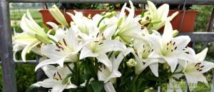 Weiße-Lilien