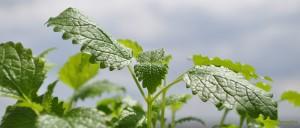 Pflanzen-als-Heilmittel