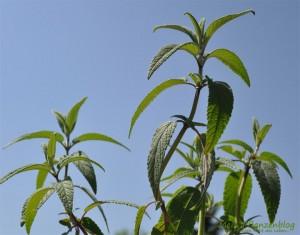 Samt-Salbei-Pflanze