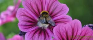 Hummel-in-Blüte