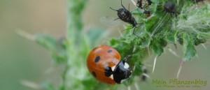 Marienkäfer-und-Blattläuse