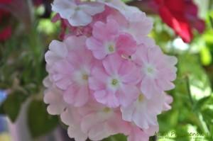 Verbena-Blüten