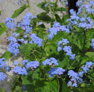 Blaue-Pflanze