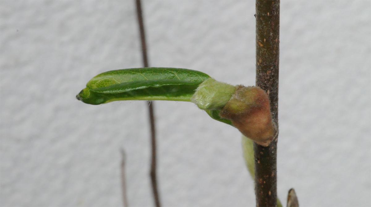 Magnolien-Knospe