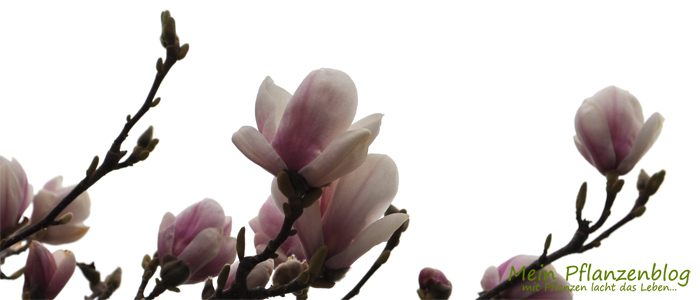 Magnolien2.jpg