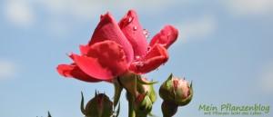 Rose-mit-Wassertropfen