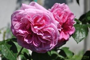 Rosen-Blüten