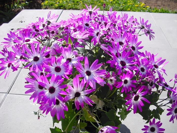 Teneriffa Stern lila