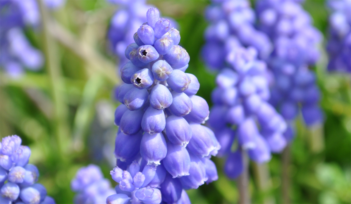 Traubenhyazinthe-Blüte