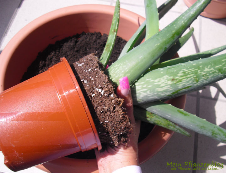 pflanzen richtig umtopfen mein pflanzenblog. Black Bedroom Furniture Sets. Home Design Ideas