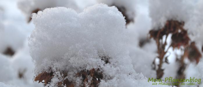 Balkonpflanze-im-Winter.jpg