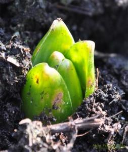 Triebe-Blumenzwiebel
