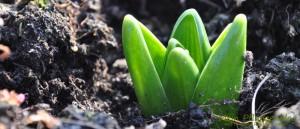 Triebe-Blumenzwiebeln