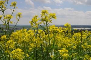 gelbe-Feldblumen