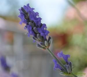 Lavendel-Blüte