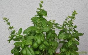 Basilikum-trocknen