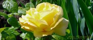 Gelbe-Rose