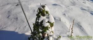 Pflanze-im-Schnee