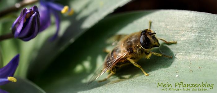 Biene auf Blaustern