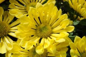 Dahlien-Gelb