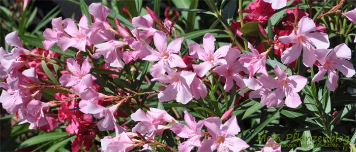 Oleander-Blüten1.jpg