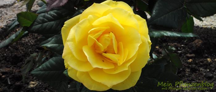 Rose-Gelb.jpg