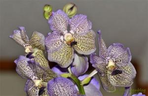 Orchideen-Blueten