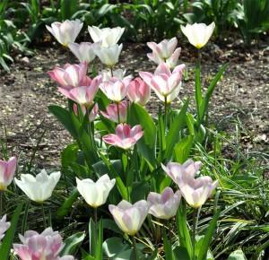 Tulpen-Garten