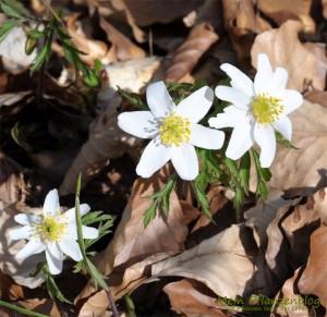 Blüte-im-Laub