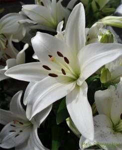Schnittblumen-Lilien