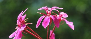 Hübsche-Blume