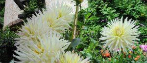 Kaktusdahlie