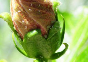 Hibiskus-Blattläuse-im-Über