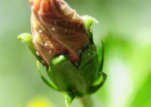 Hibiskus-mit-Blattläusen