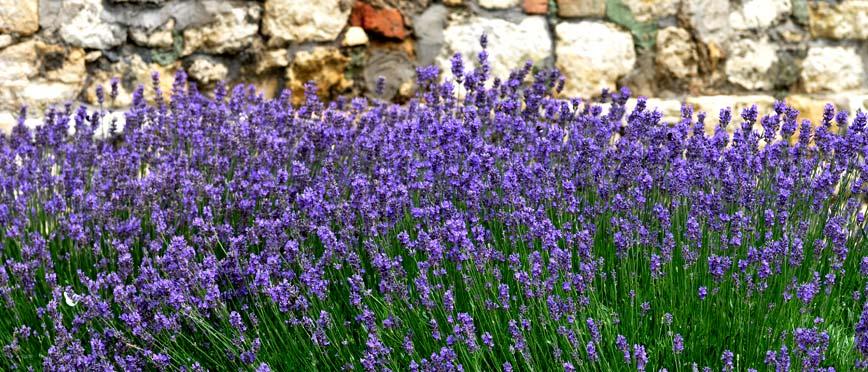 Lavendel-1.jpg