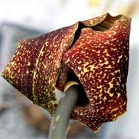 Eidechsenwurz Blüte