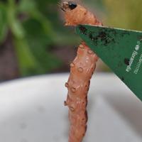 Weidenbohrer-Unterseite