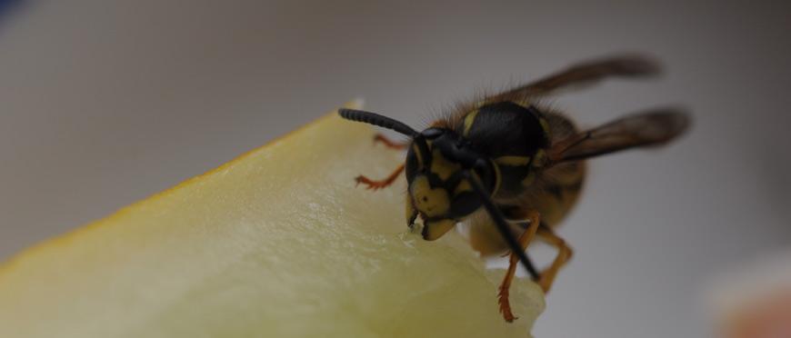 Biene-mit-Futter.jpg